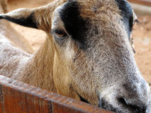 Goat on a farm Stock Photography