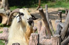Goat  in the farm Stock Photo
