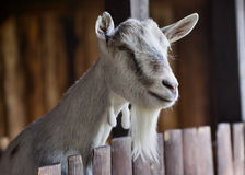 Goat at farm. Goat at polish farm in Szreniawa Royalty Free Stock Photo