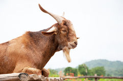 Goat in the farm Stock Image