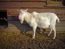Goat on Farm. Goat standing by the barn on the Farm Stock Photography