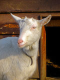 Goat on Farm. Goat Curiously looking at the Camera royalty free stock photo