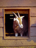 Goat on Farm. Goat Curiously looking at the Camera stock photography