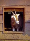 Goat on Farm stock photography