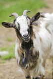 Goat in the farm Royalty Free Stock Image