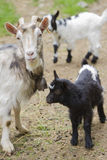 Goat in the farm Stock Photography