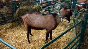 Goat on farm. A beautiful brown goat with a bell around the neck stock images