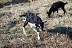 Goat on farm Stock Image