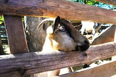 A goat on a farm behind a wooden fence stock image