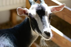 Goat at a farm Royalty Free Stock Images
