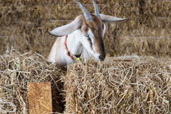 Goat in the farm Royalty Free Stock Photos