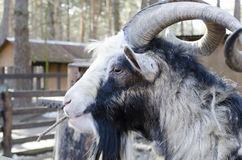 Goat. The goat farm is chewing on a branch stock photography