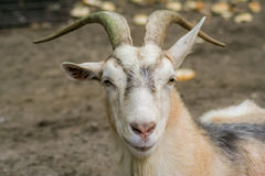 Goat at a farm. Goat close up at a goat farm stock photos