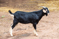 Goat in farm. Close up black goat in farm from central of Thailand Royalty Free Stock Images