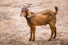 Goat in farm. Close up brown goat in farm from central of Thailand Stock Image