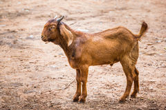 Goat in farm. Close up brown goat in farm from central of Thailand Royalty Free Stock Photography