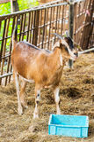 Goat in farm Royalty Free Stock Photos