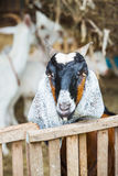 Goat in farm Royalty Free Stock Photo