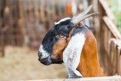 Goat in farm Stock Image