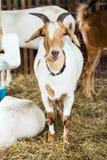 Goat in farm Stock Photo