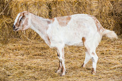 Goat in farm. Close up goat in farm from central of Thailand Royalty Free Stock Photography