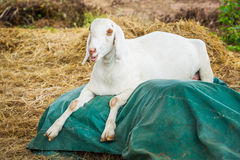 Goat in farm. Close up goat in farm from central of Thailand Stock Photo