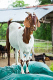 Goat in farm. Close up goat in farm from central of Thailand Royalty Free Stock Photos