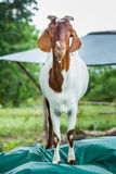 Goat in farm. Close up goat in farm from central of Thailand Royalty Free Stock Images