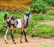 Goat in farm. Close up goat in farm from central of Thailand Royalty Free Stock Photo