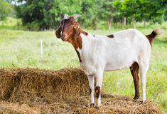 Goat in farm Stock Photos