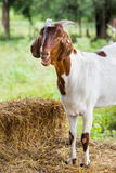 Goat in farm. Close up goat in farm from central of Thailand Stock Images