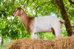 Goat in farm. Close up goat in farm from central of Thailand Stock Image