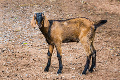 Goat in farm. Close up goat in farm from central of Thailand Stock Photos