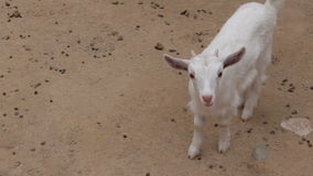Goat on a farm close up. Curly goat on a farm close up stock video footage