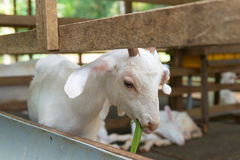 Goat in farm Stock Image