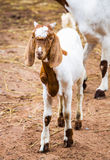Goat in farm. Close up young goat in farm from central of Thailand Royalty Free Stock Images