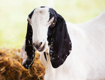Goat in farm. Close up young goat eating dry grass in farm Royalty Free Stock Images