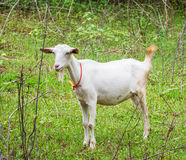 Goat in farm Stock Photography