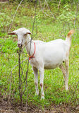 Goat in farm Royalty Free Stock Photo