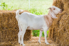 Goat in farm Stock Photo