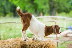 Goat in farm Stock Images
