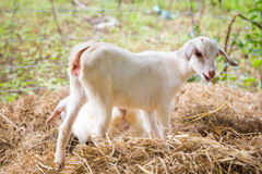 Goat in farm. Close up young goat playing and eating dry pangola grass in farm Stock Photography