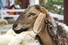 Goat farm. Goat closed up Stock Photos