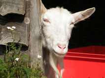 Goat on a farm. Closeup of white goat on a farm, looking out of his shed Royalty Free Stock Photography