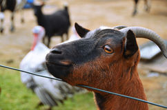 Goat in a farm Stock Photography