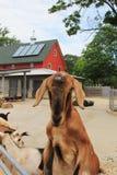 Goat at the farm Stock Photos