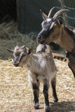 Goat in the farm. Cute goat in the farm Royalty Free Stock Photo