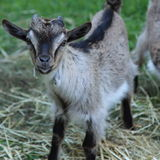 Goat in the farm. Cute goat in the farm Stock Images