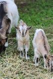 Goat in the farm. Cute goat in the farm Stock Photos