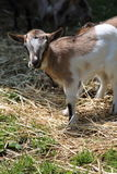 Goat in the farm. Cute goat in the farm Royalty Free Stock Image